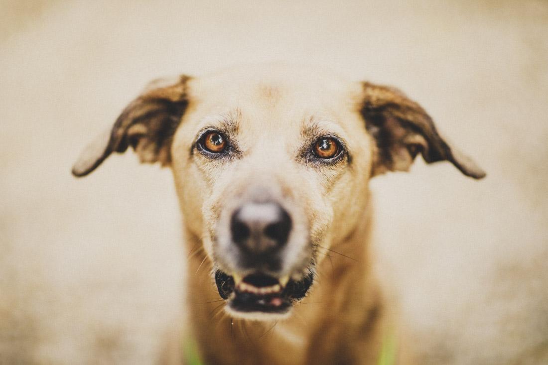 zuckersuesses hundeportrait, waehrend eines paarshoots fotografiert - hundefotograf hessen